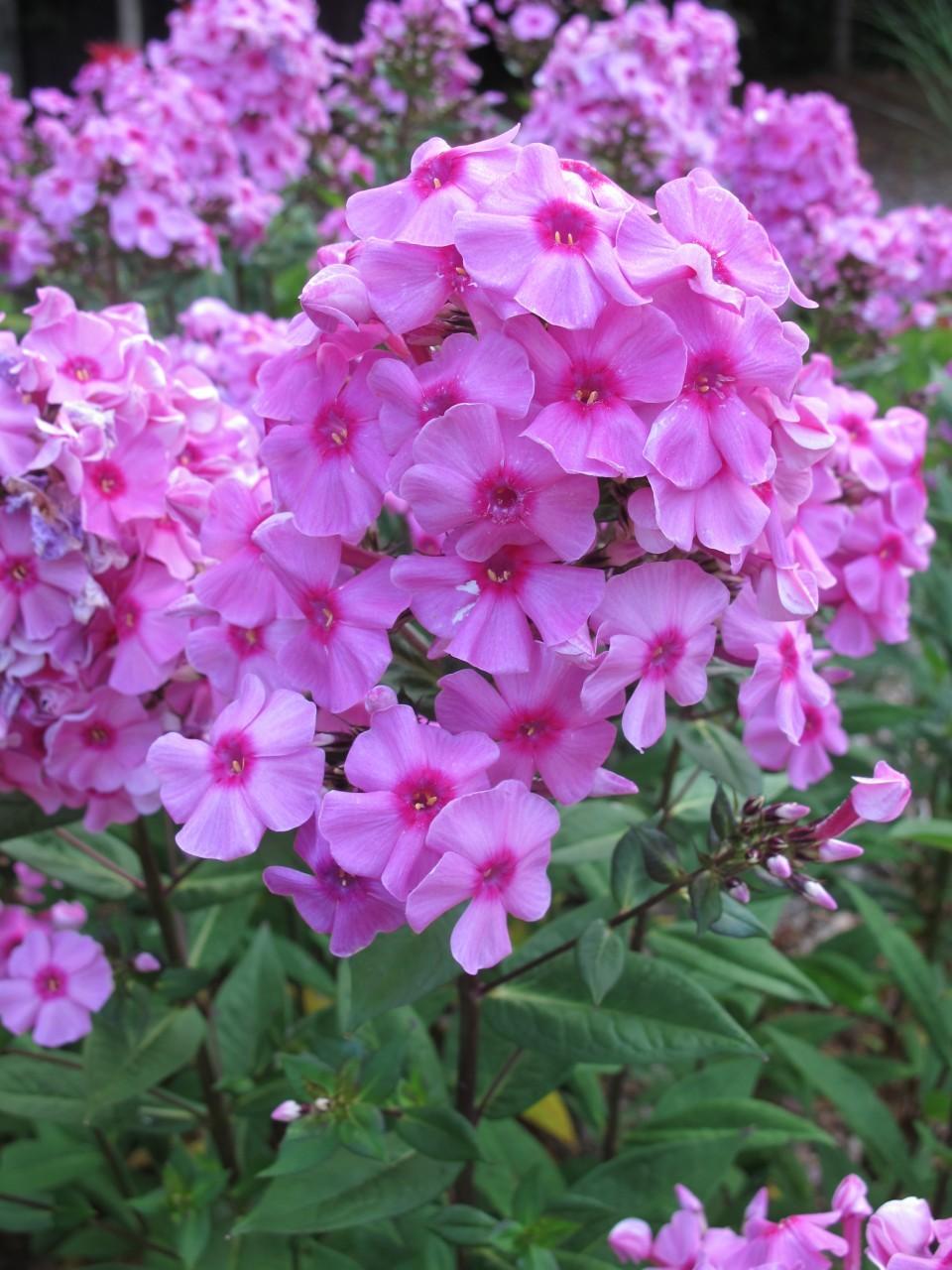 Tall Garden Phlox 'Eva Cullum'
