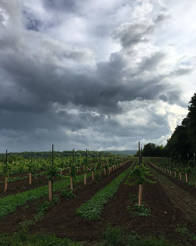 New vineyard of Muscat and Riesling hybrids up top #triumphofthehybrids #claverachfarm #naturalwine #missouriwine