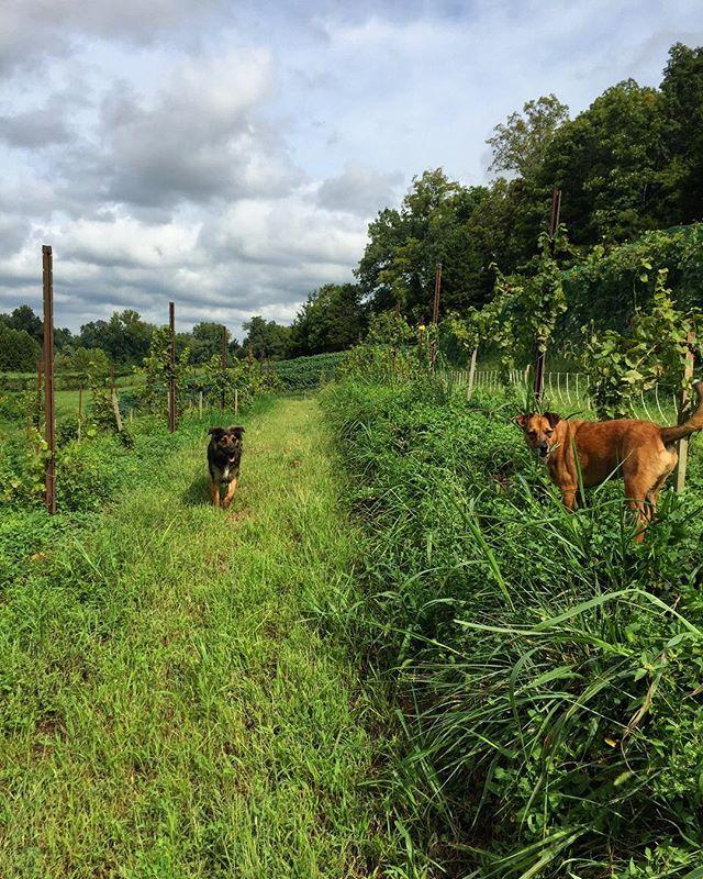 #farmdogs #claverachfarm #missouriwine #naturalwine #triumphofthehybrids