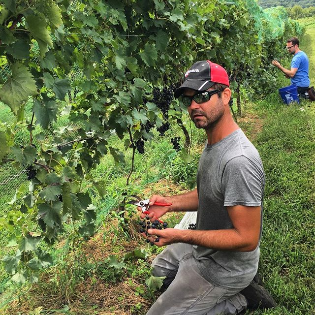 Day 1 of chambourcin harvest #triumphofthehybrids #missouriwine #naturalwine #claverachfarm
