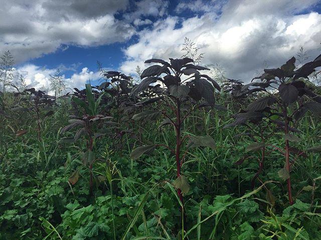 Fall #covercrop #claverachfarm