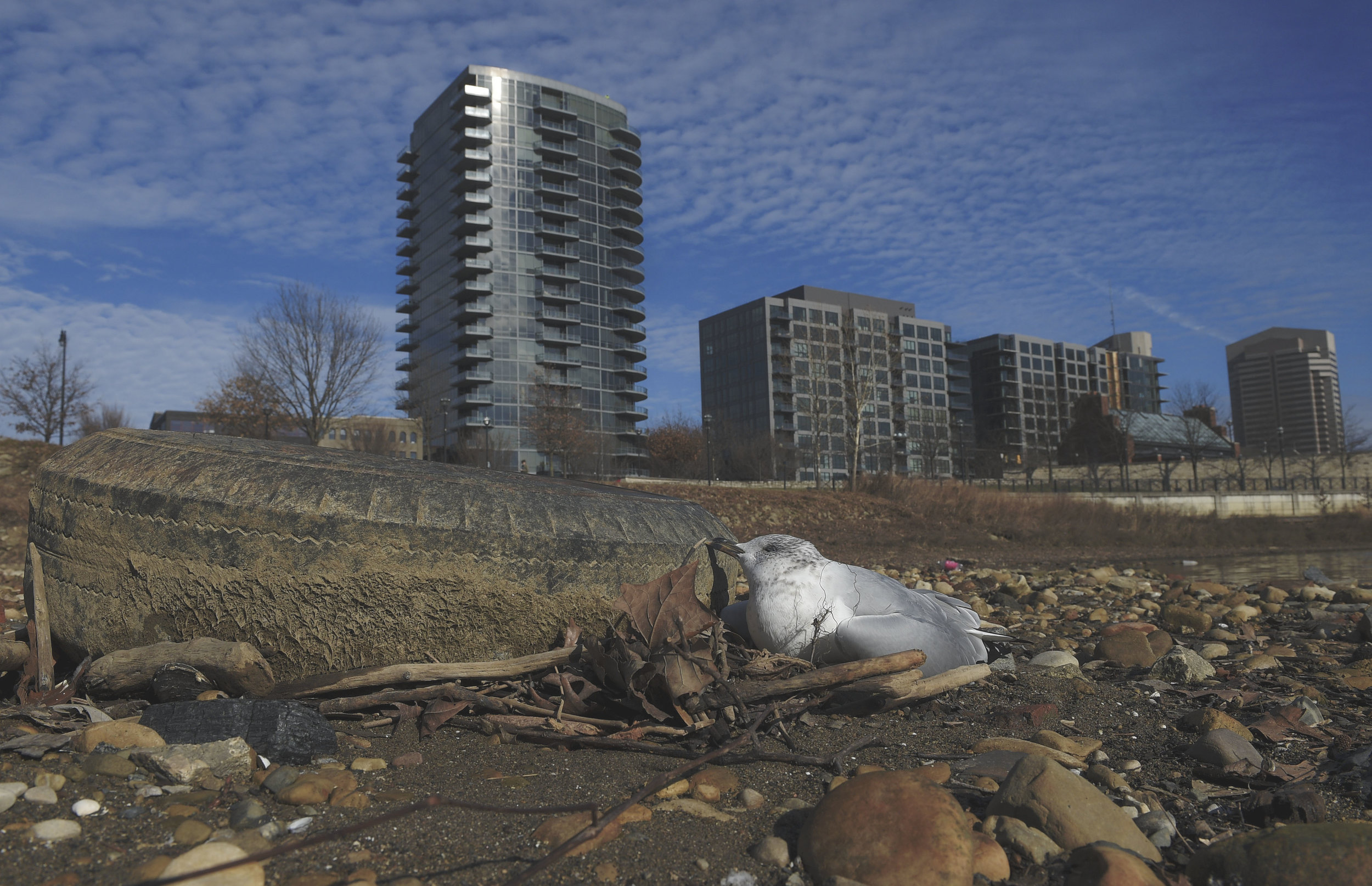 The corpse of gull lay next to a discarded tire on the east bank of the Scioto River 20 yards from a sewage runoff that drains into the Scioto River near newly built high rise apartments.
