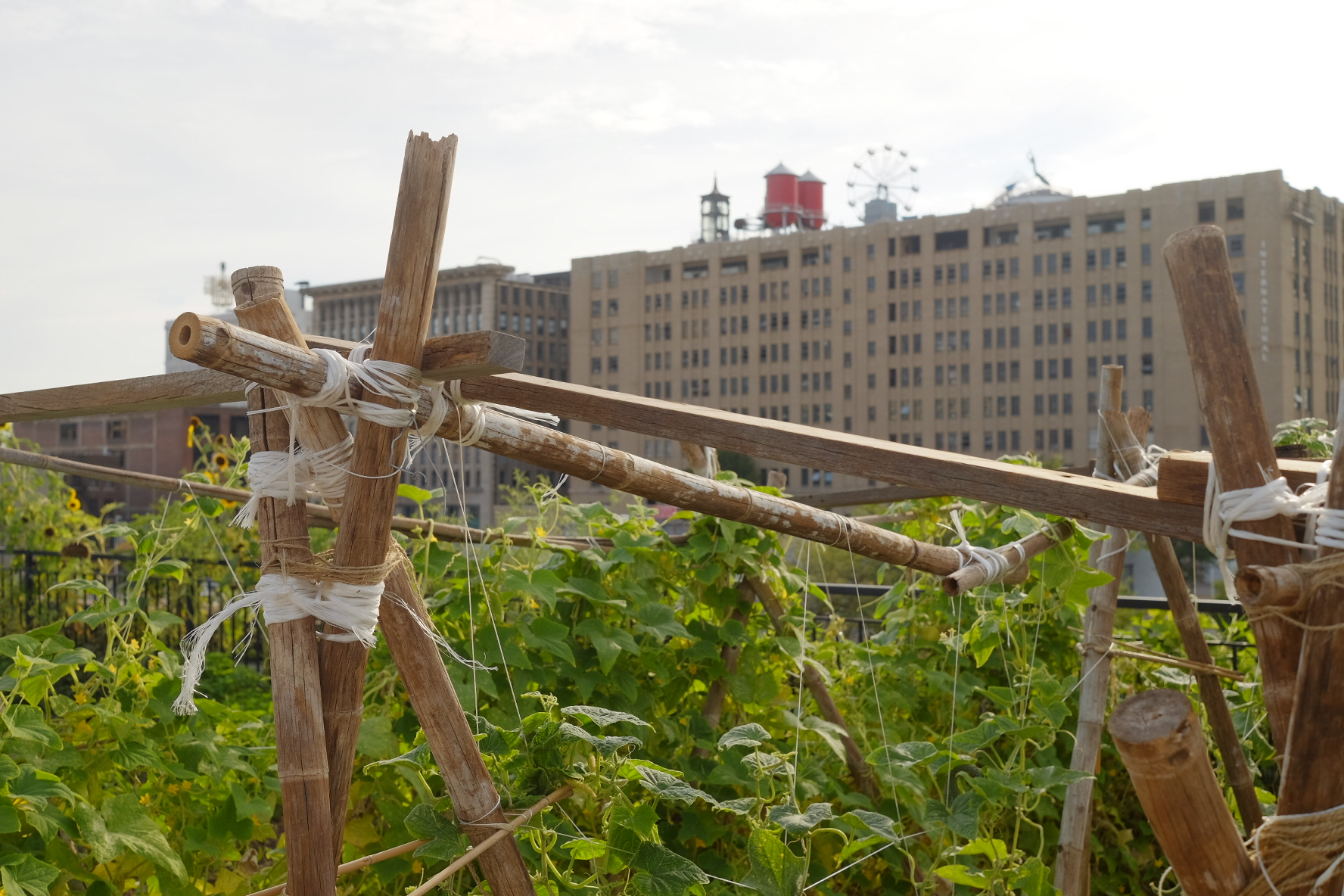 Copy of Constructed wooden trellis on FOOD ROOF Farm with tall green plants and the city museum rooftop in background