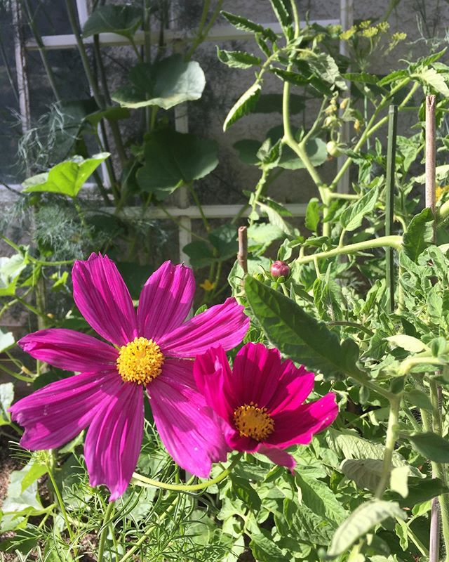 I'm sharing from my garden today. Cosmos growing in a bed with dill, cucumbers, radish and tomato. #cosmosflower #happygardener #midlife