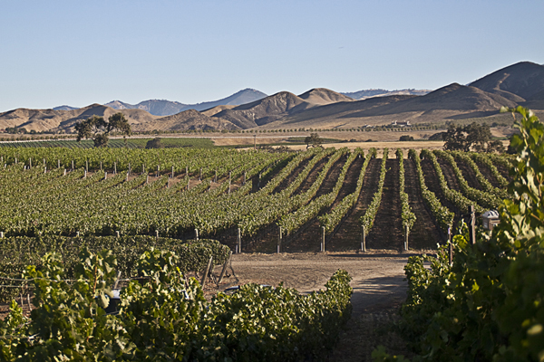A Santa Ynez Valley vineyard