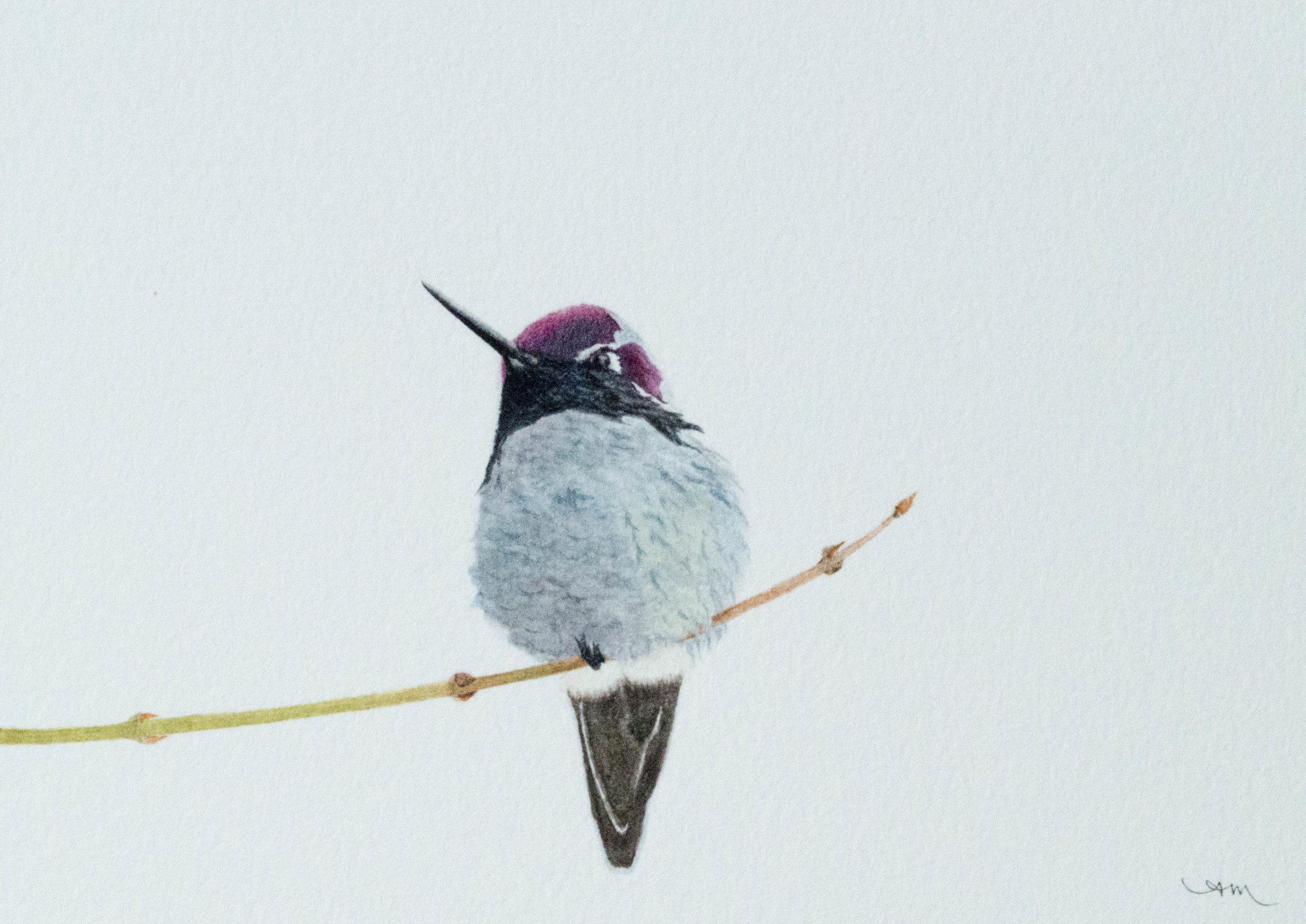 anna's hummingbird, watercolor on paper