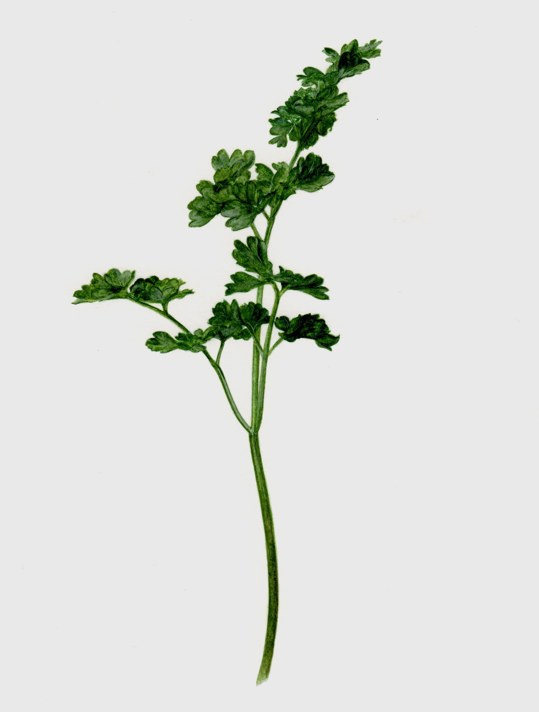 parsley copy 2.jpeg