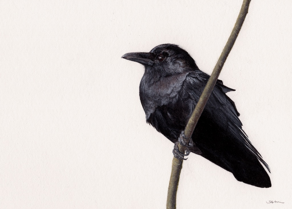 american crow, watercolor on paper