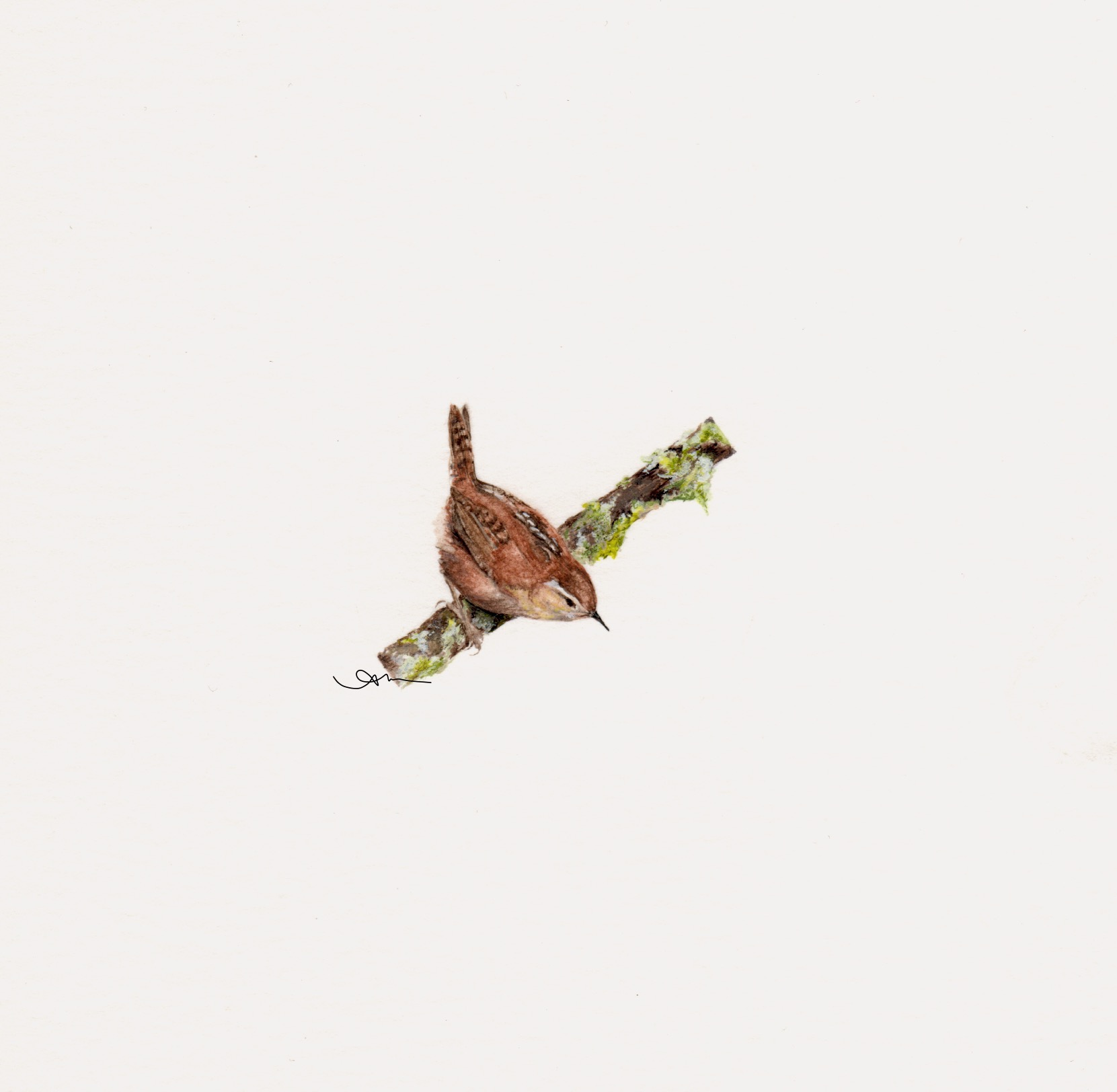 marsh wren, watercolor on paper -PRIVATE COLLECTION-