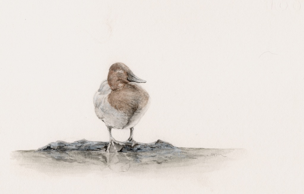 canvasback, watercolor on paper -PRIVATE COLLECTION-