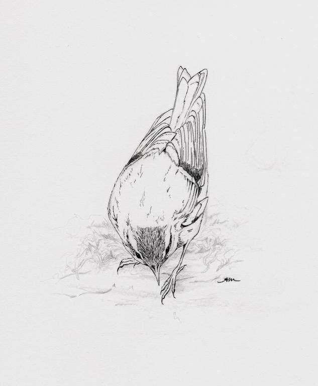 juvenile golden-crowned kinglet, pencil & ink on paper - SOLD-