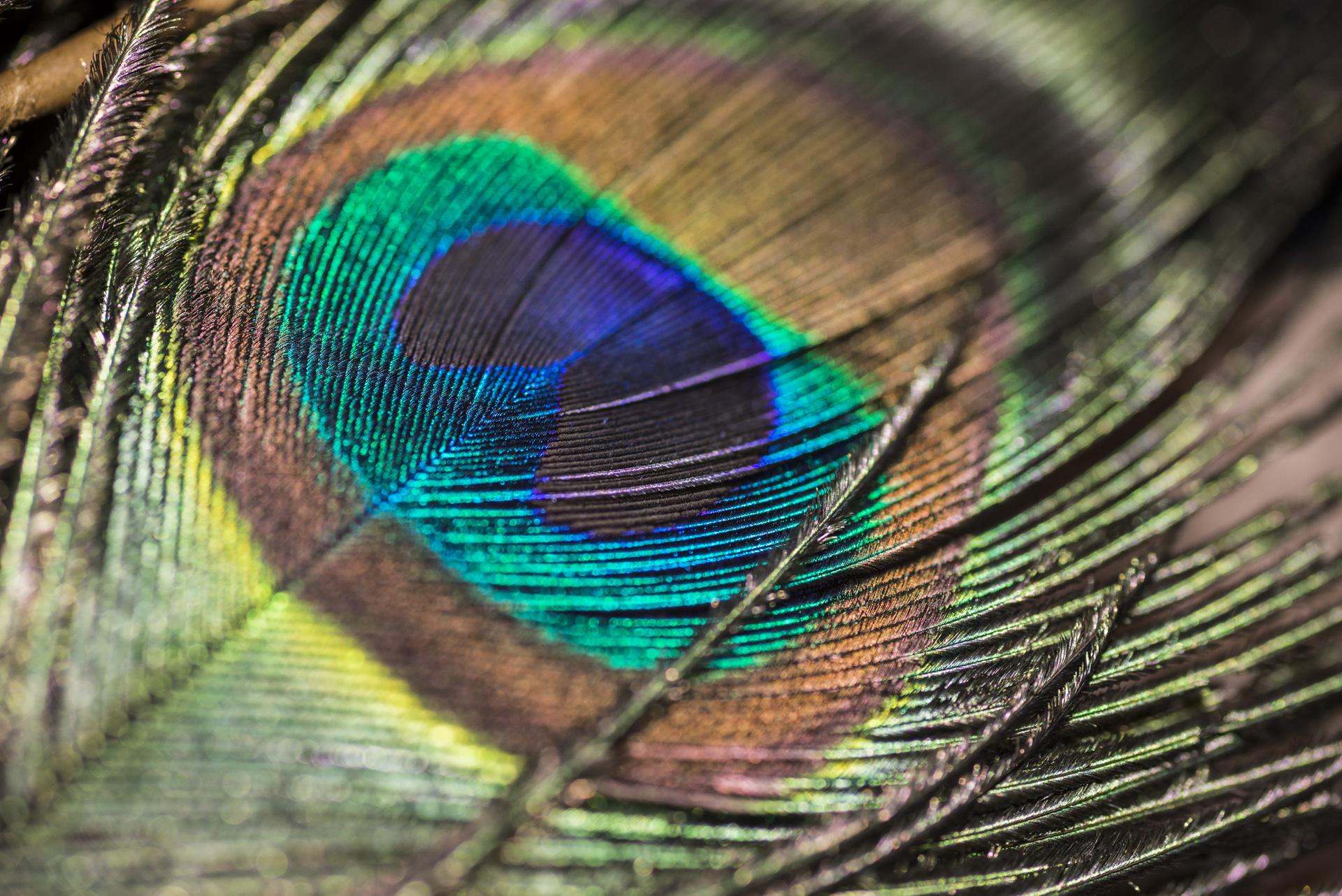 Macro Peacock Website Cover Page.jpg
