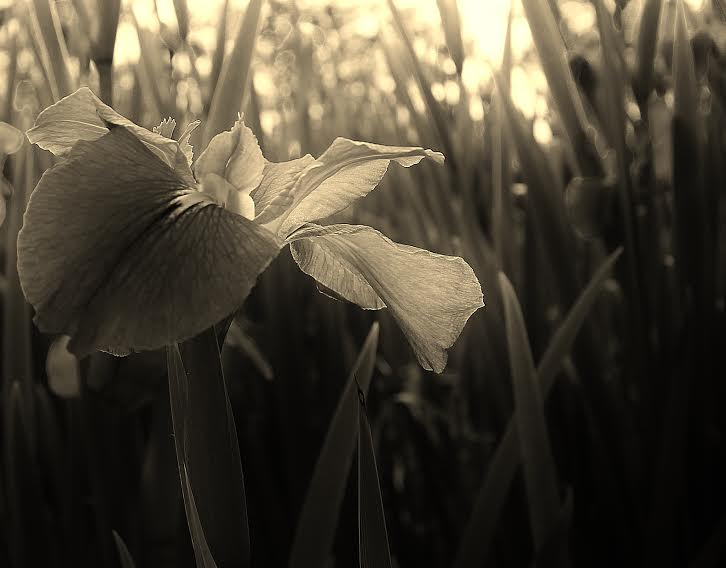 Engle_Irises_at_the_New_Orleans_Museum_of_Art_2012.jpeg