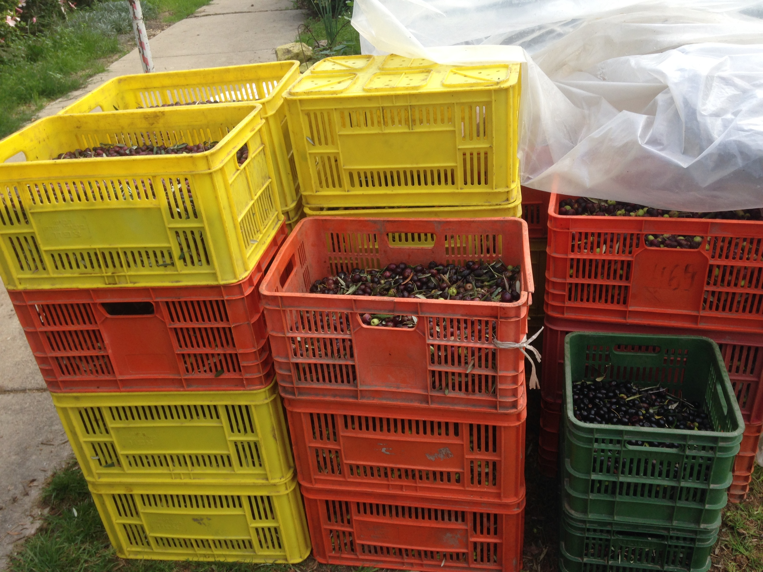 Boxes of olives for the orchard.