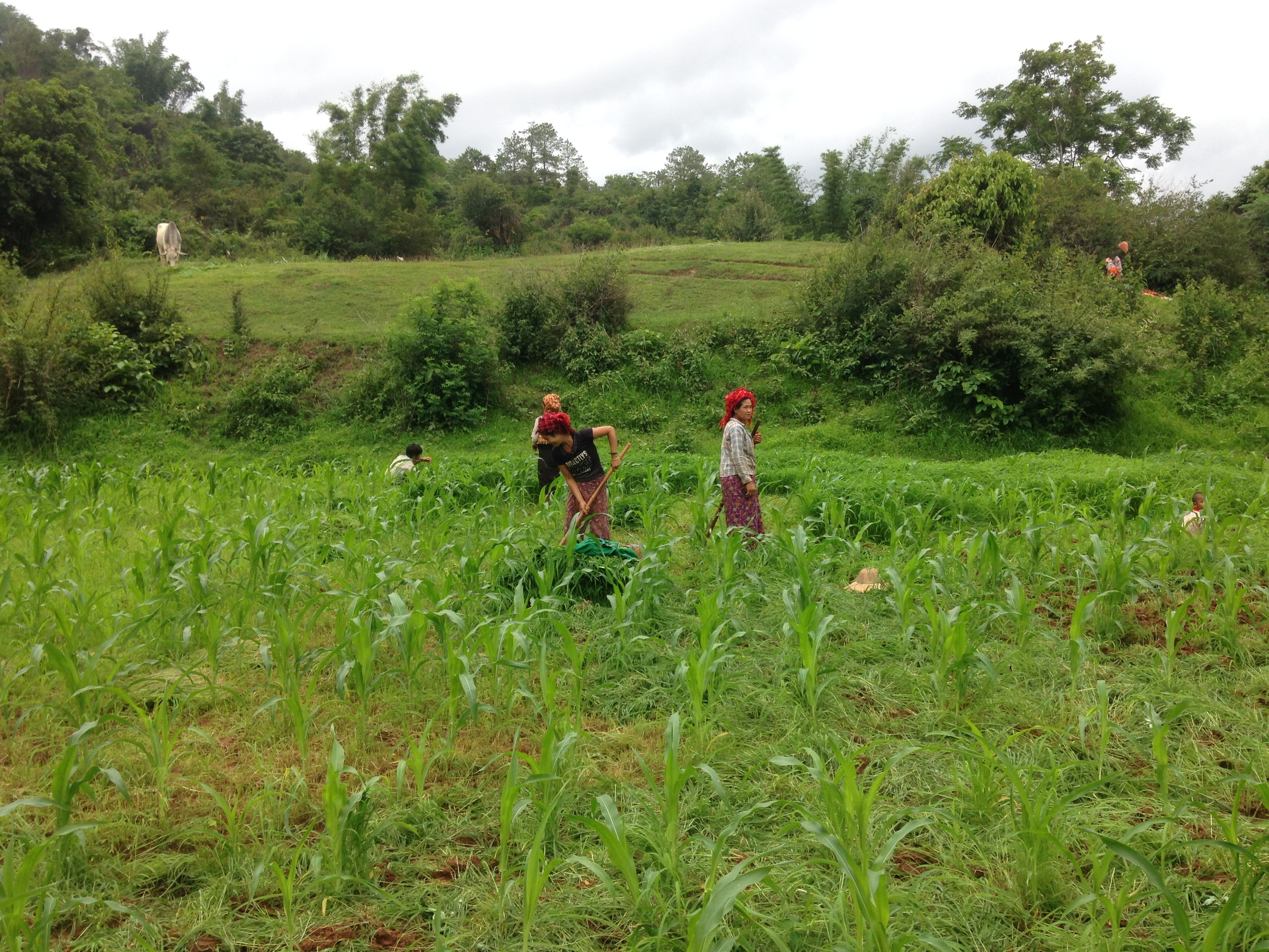 Local women working in the fields.