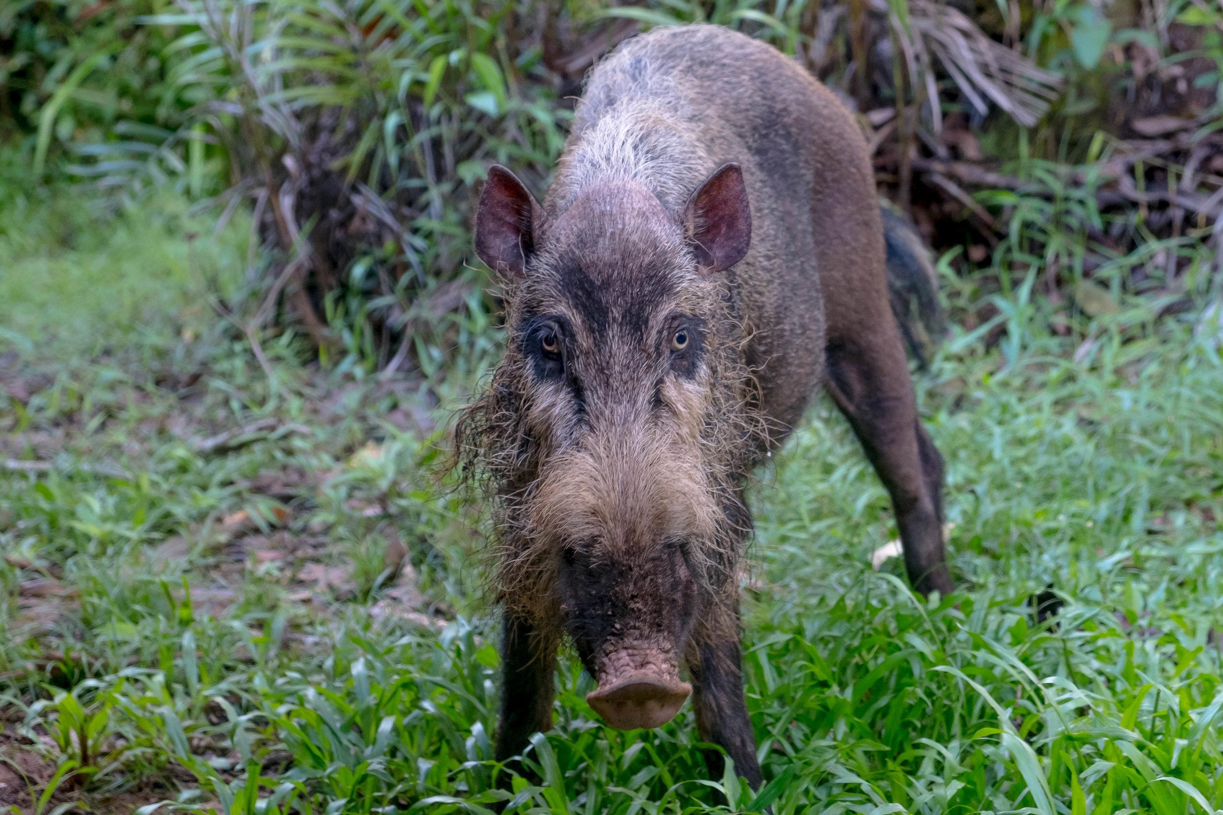Bearded pig babe