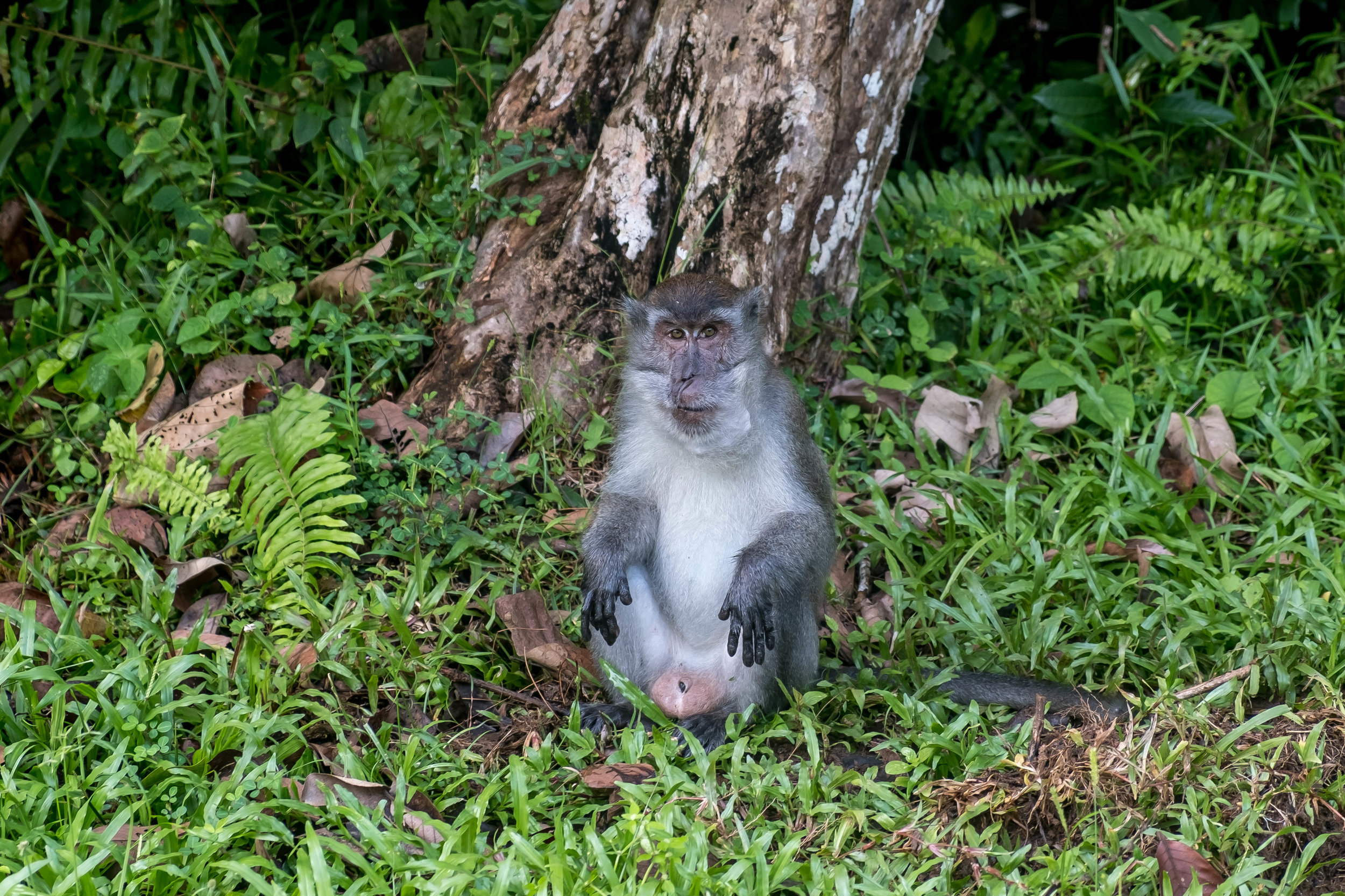 Long-tailed macaque before he attacked me