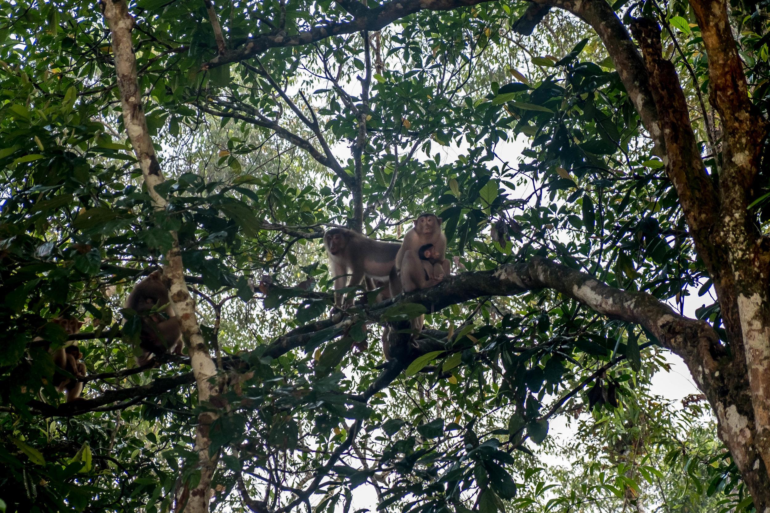 Silver Leaf Monkeys