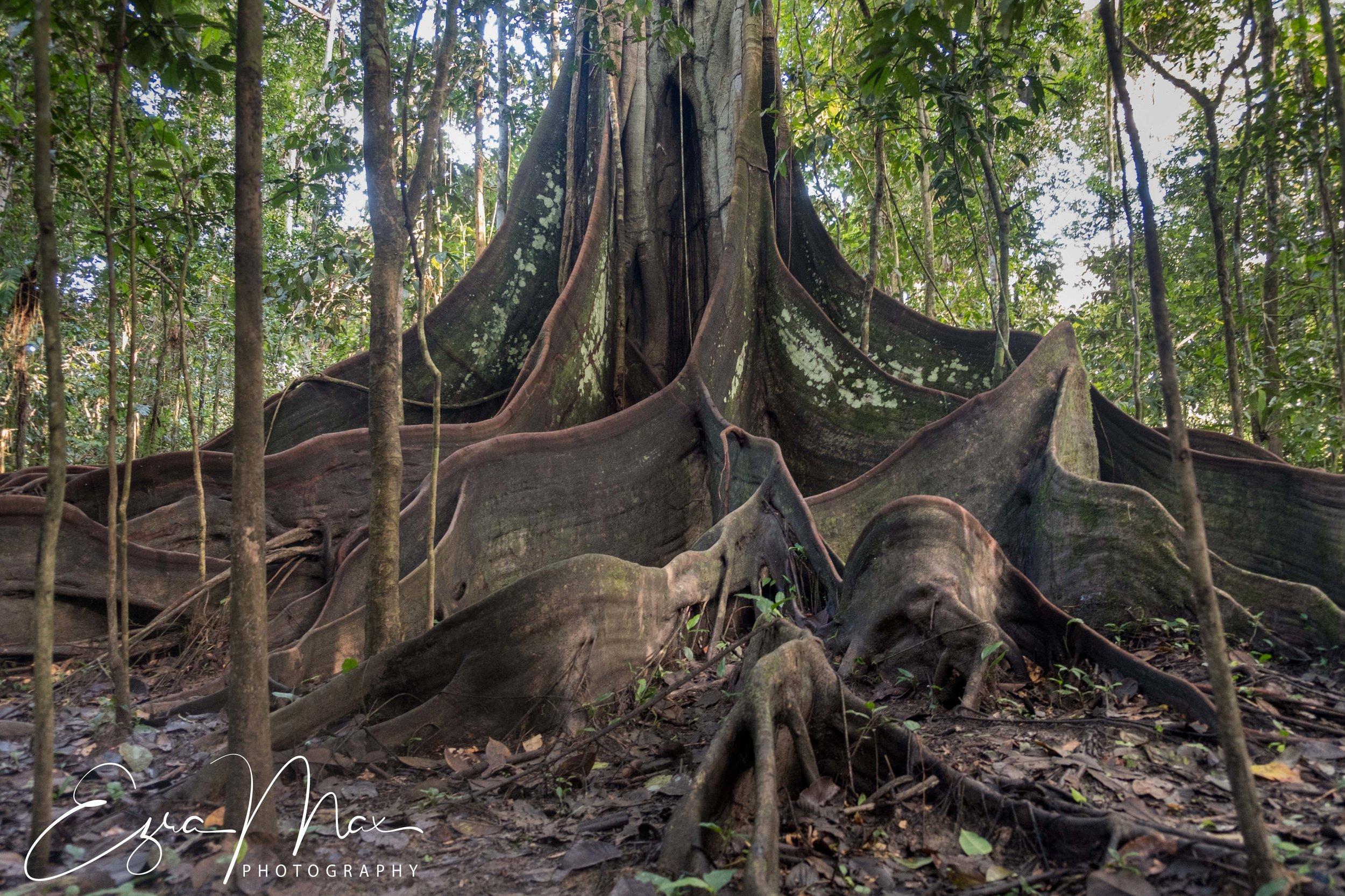 Hoge Tree - same family as the Ceiba
