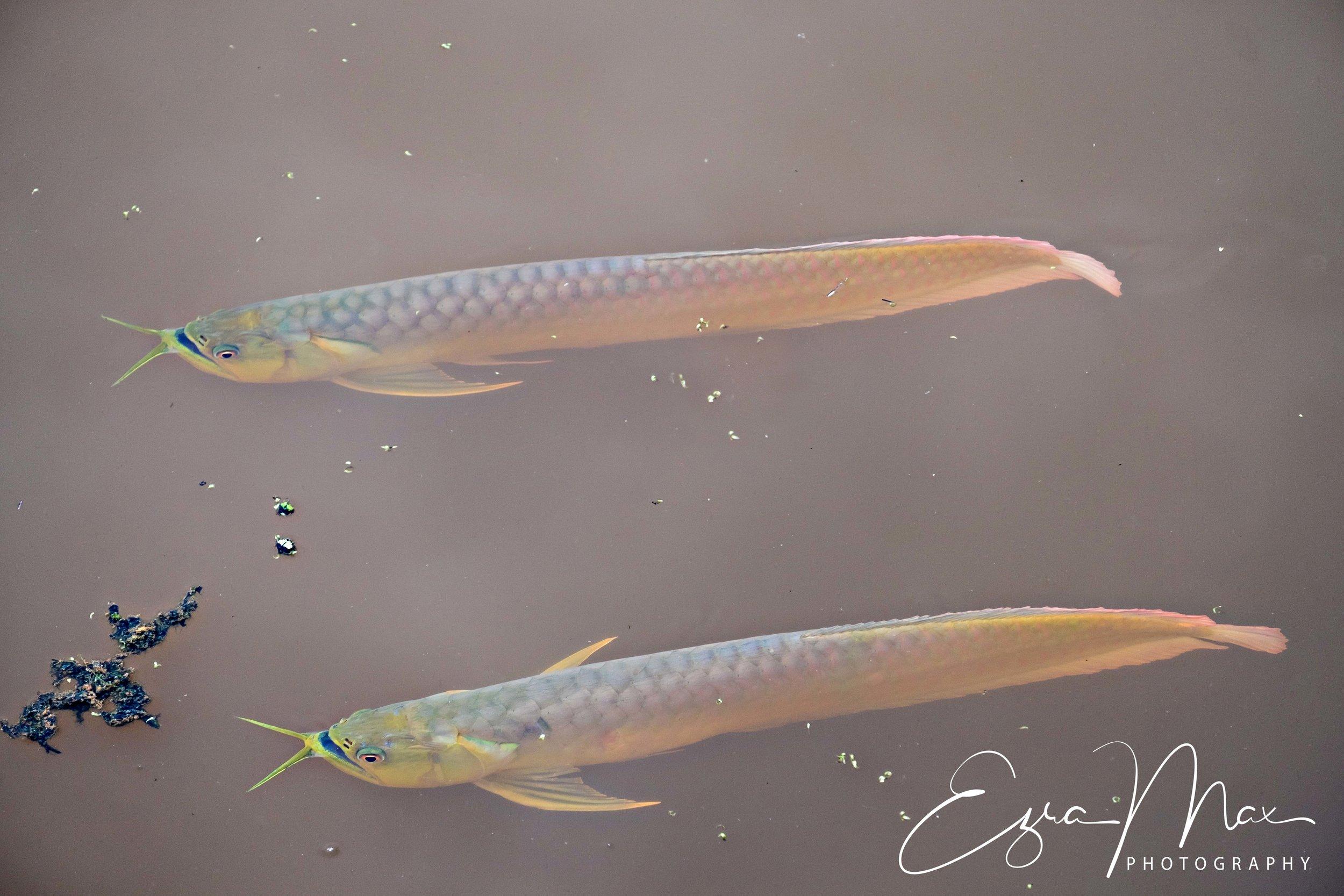 Two arowana swimming side by side