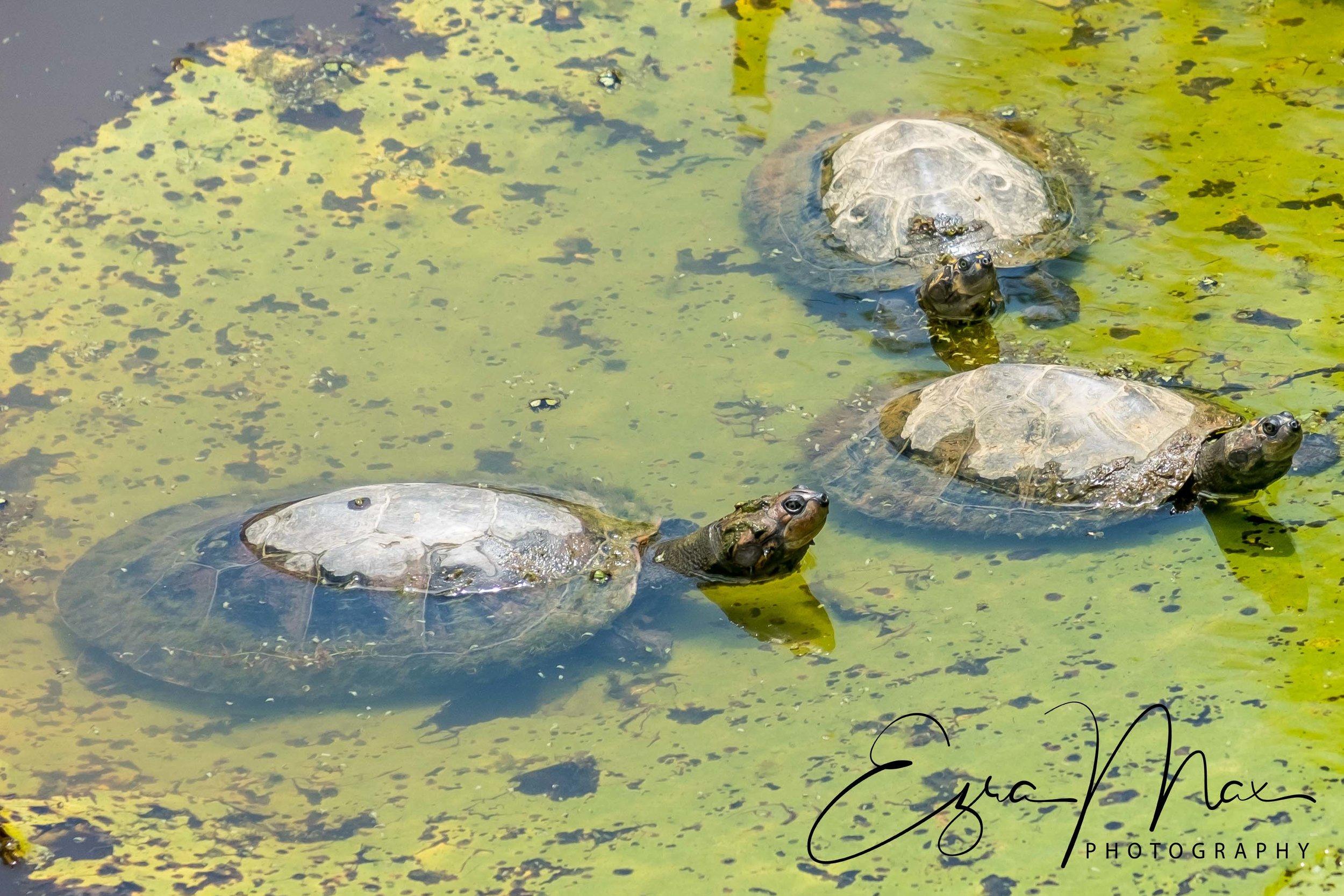Turtles on a lilypad