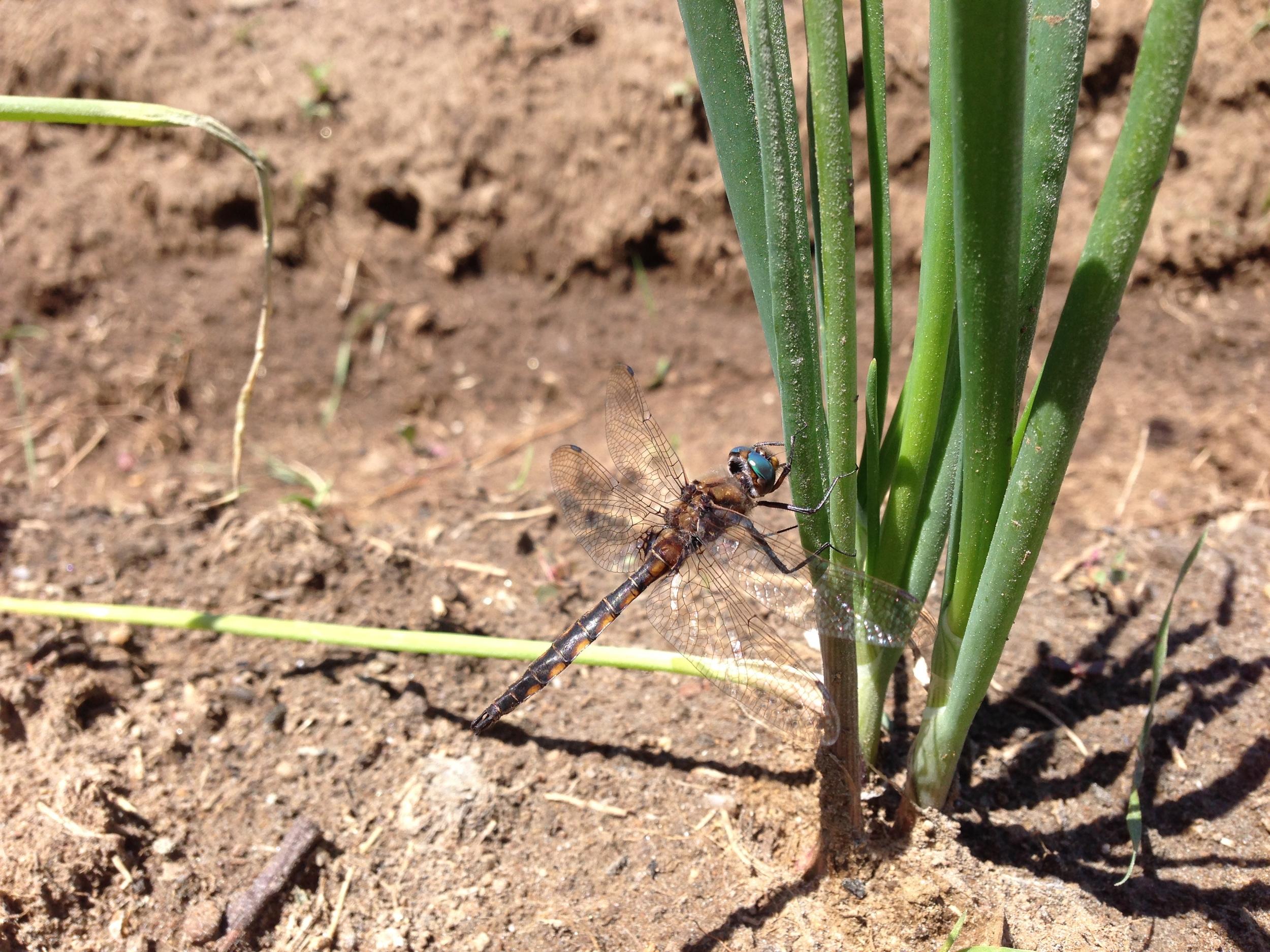 La libéllulenous progège des mouches noires et moutiques