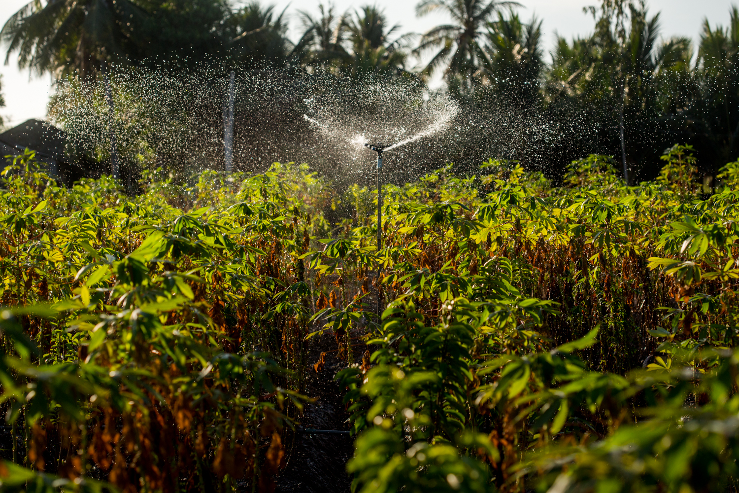 May 8, 2016.  Well water affected by the salt water intrusion is used to water a dying Casava plantation on the island of Cu Lao Dung in Soc Trang .