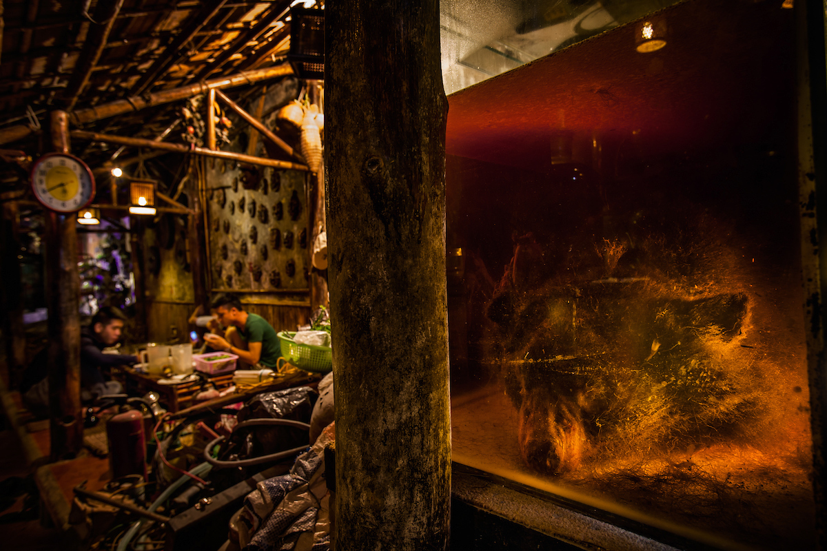 The entire body of an Asiatic Black Bear is infused in a vat of rice wine at a restaurant in Hanoi, Vietnam. The large tank containing the bear was in full view of anyone entering the restaurant and it seemed that the owners cared very little about the laws put in place to protect the bears. On entering this restaurant I was invited to join a group of young Vietnamese students whom were drinking shots of bear bile mixed with vodka during a meal. One of students told me that he does not eat dog because he likes dogs, he believed that bears were dangerous though and this was his justification for consuming the bile. It is a common myth amongst men that drinking both the bile and the infused rice wine will make them strong and enhance their sexual virility. Today bear bile is completely unnecessary as there are over 50 herbal alternatives and many widely used synthetic substitutes that are equally effective, easily accessible and inexpensive. It seems like one of the only ways to curb the trade is to educate future generations about the alternatives and to counter outdated and false beliefs.  Canon 5D Mk II, 16-35mm f2.8L lens at 21mm, 1.6 sec at f5.6, ISO 400.