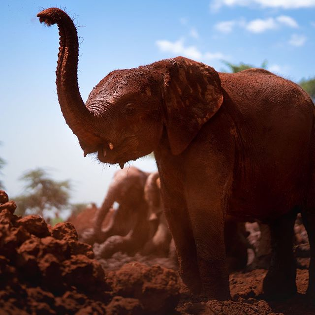 Baby elephants enjoy their daily mud bath this morning at the David Sheldrick Elephant Orphanage in Nairobi, Kenya.  All of the elpants here are orphans and they are hand raised at the shelter until they are three years old, at this point they are moved to Tsavo National Park where they are reintroduced to the wild.  A process that takes 5 years until a wild heard develops enough of bond with them to accept them as one of their own.  It's our last day in Kenya and I'm going to miss this place but I'll be sharing more of my images from the Masai Mara over the next few days.  #kenya #travel #travelphotography #everydayafrica #africa #travelphotographer #lonelyplanet #NairobiNationalPark #antipoaching #nonprofit #DavidSheldrickWildlifeTrust #SheldrickWildlifeTrust  #Nairobi #elephant #babyelephants #babyelephant #elephantorphanage