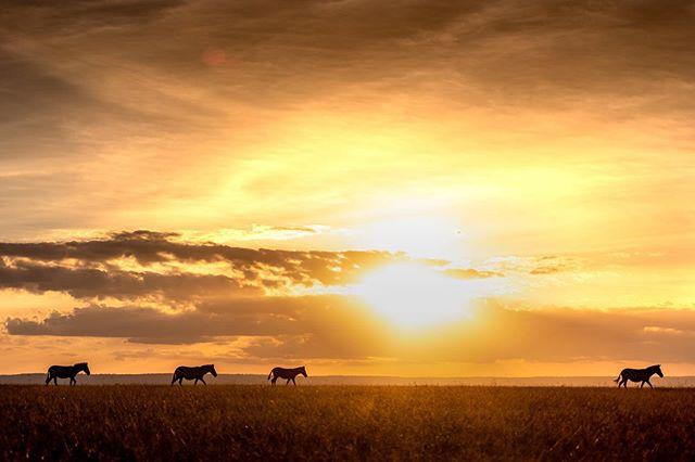 Zebra's cross the masai mara savannah at sunset.#masaimara #masaimarasafari#masaimarakenya#masaimaranationalpark#zebra #sunset #masaimarasunset #kenya#travelphotography#travelphotographer#travel #savannah