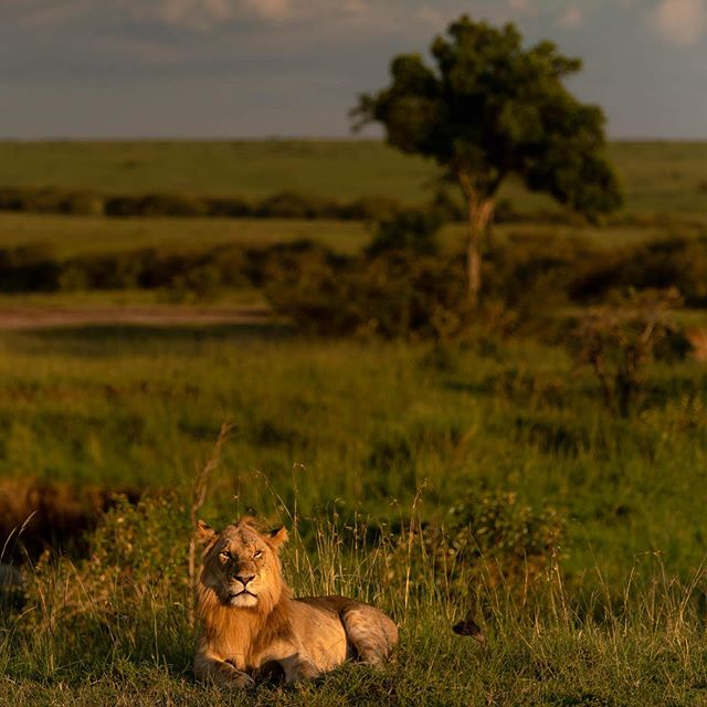 We found this young male at the base of a hill watching on as the Lionesses from his pride had gone out hunting.  The sun was setting fast and soon after he got up and walked back to his pride.  #masaimara #masaimarasafari #masaimarakenya #masaimaranationalpark #lions #lionking #lionpride #masaimara #kenya #travelphotography #travelphotographer #travel #savannah