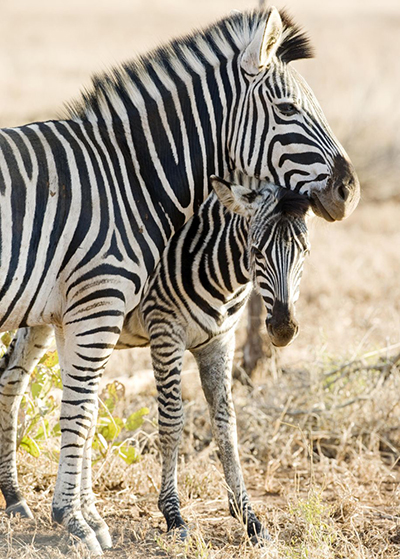 do you know what a zebra sounds like? - chasing saturdays