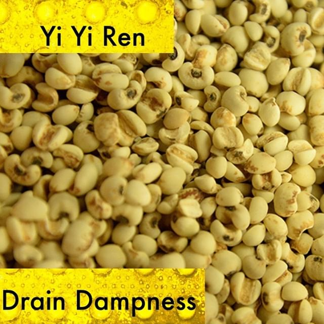 Yi Yi Ren is used for symptoms with excessive dampness. All of these can interpreted through the lens of a weak spleen. Yi Yi ren helps dry out the spleen and supports its ability to transport and transform fluids.  It helps the spleen with all its aspects including dampness in the flesh. It can also be used to eliminate painful obstruction caused by dampness.  If you know someone who would like our channel please forward our posts to them!  #theduchannel #herbalmedicine #acupuncture #eastasianmedicinestudent #eastasianmedicine #acupuncturestudent #herbalist #herbs #witch #naturalmedicine #herbalism #tcm
