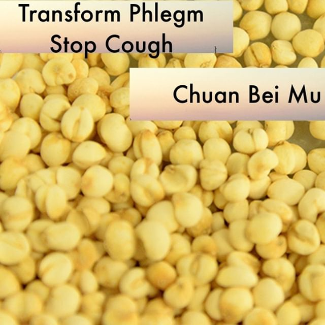 Chuan Bei Mu gets used in my clinic when you have a non-productive cough. You know the kind that is dry and just has nothing to give. You wish it would just rattle a little so you could feel productive. This clears phlegm heat that has injured the lungs and moistens the tissue.    If you know someone who would like our channel please forward our posts to them!  #theduchannel #herbalmedicine #acupuncture #eastasianmedicinestudent #eastasianmedicine #acupuncturestudent #herbalist #herbs #witch #naturalmedicine #herbalism #tcm