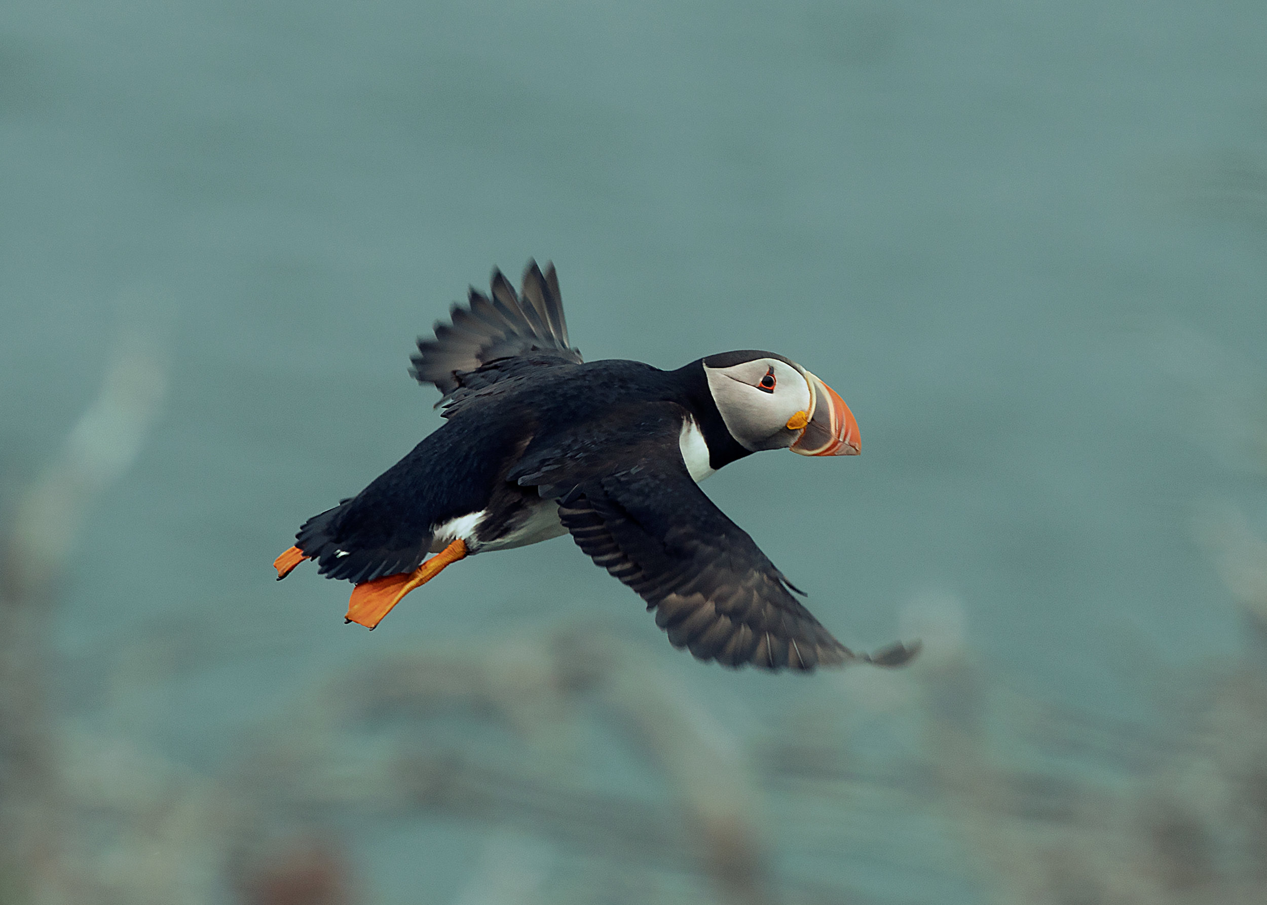 flight-of-the-puffin.jpg