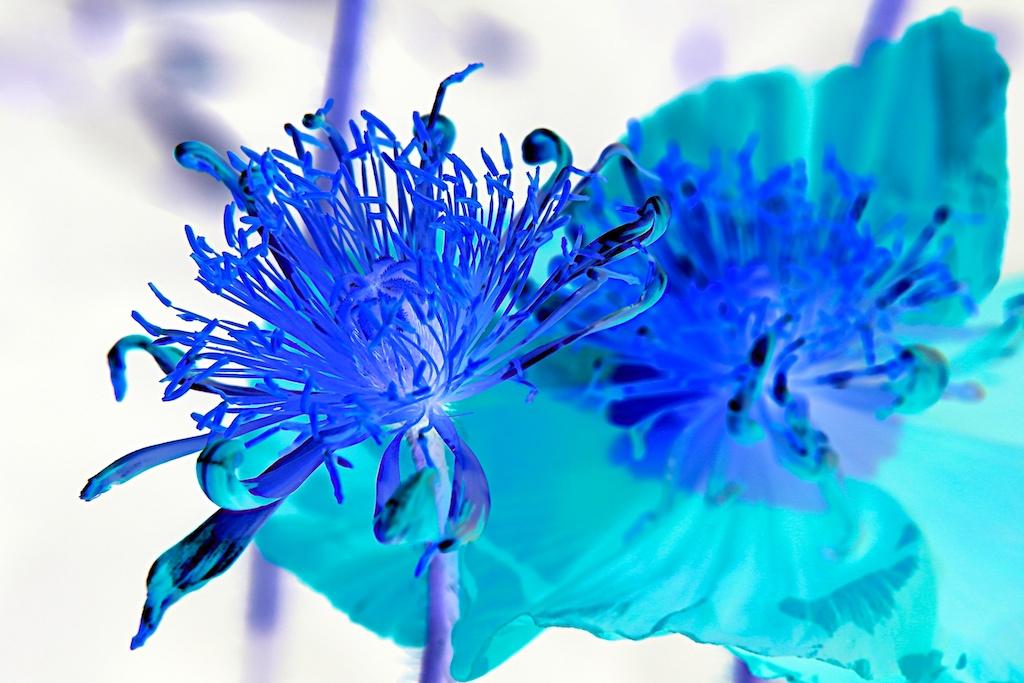 Oriental Poppies One