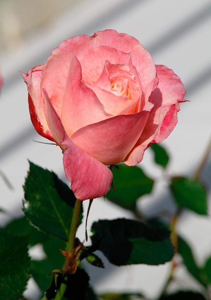 March_flowers_2012-03-23_15-59-01_17©MaggieLynch2011.jpg
