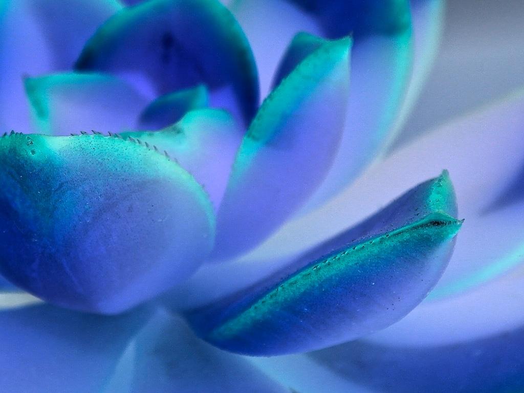 Blue_succulent_2014-04-25_05-40-57_1 of 1©MaggieLynch2014.jpg
