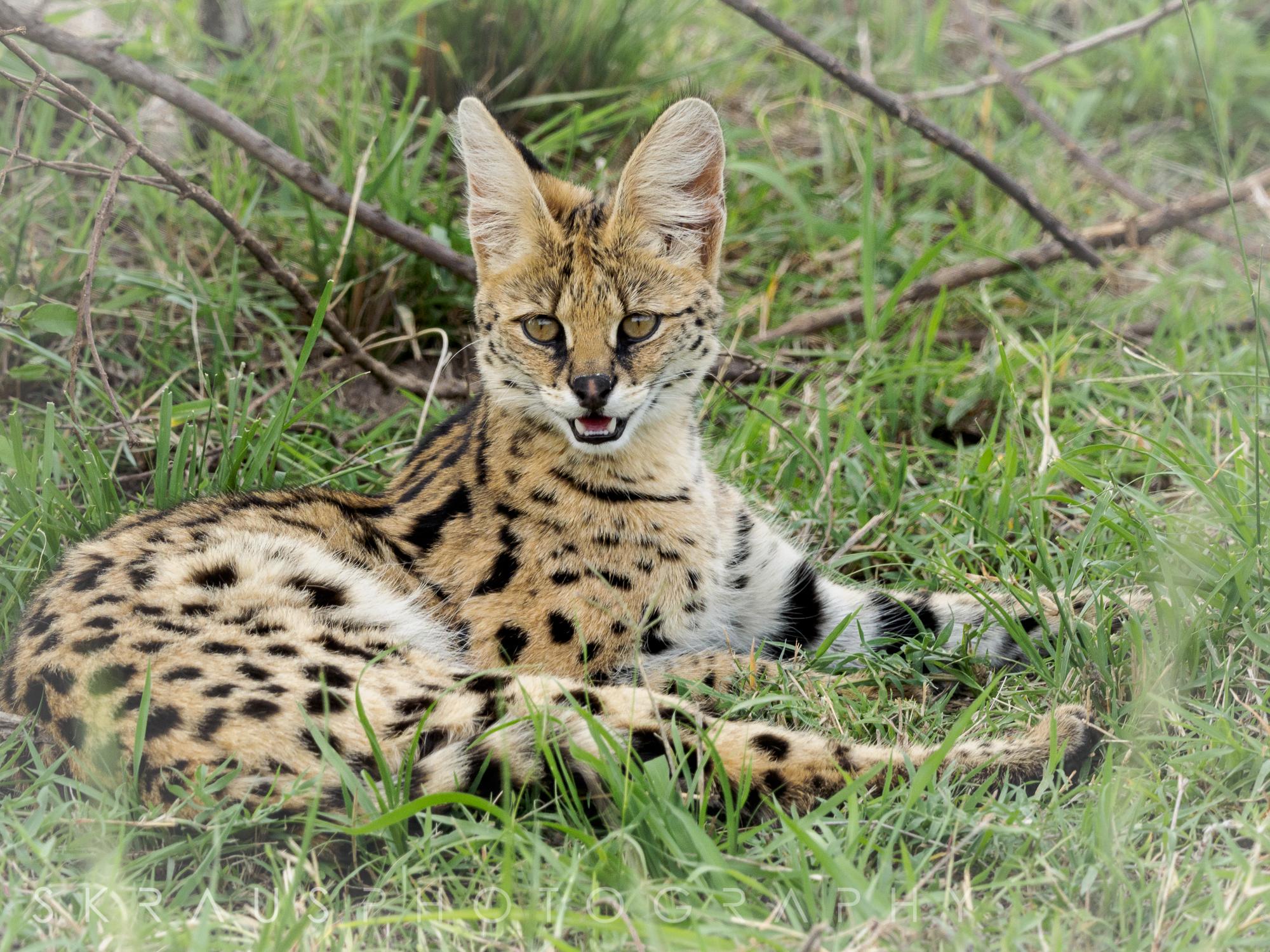 Serval.jpg