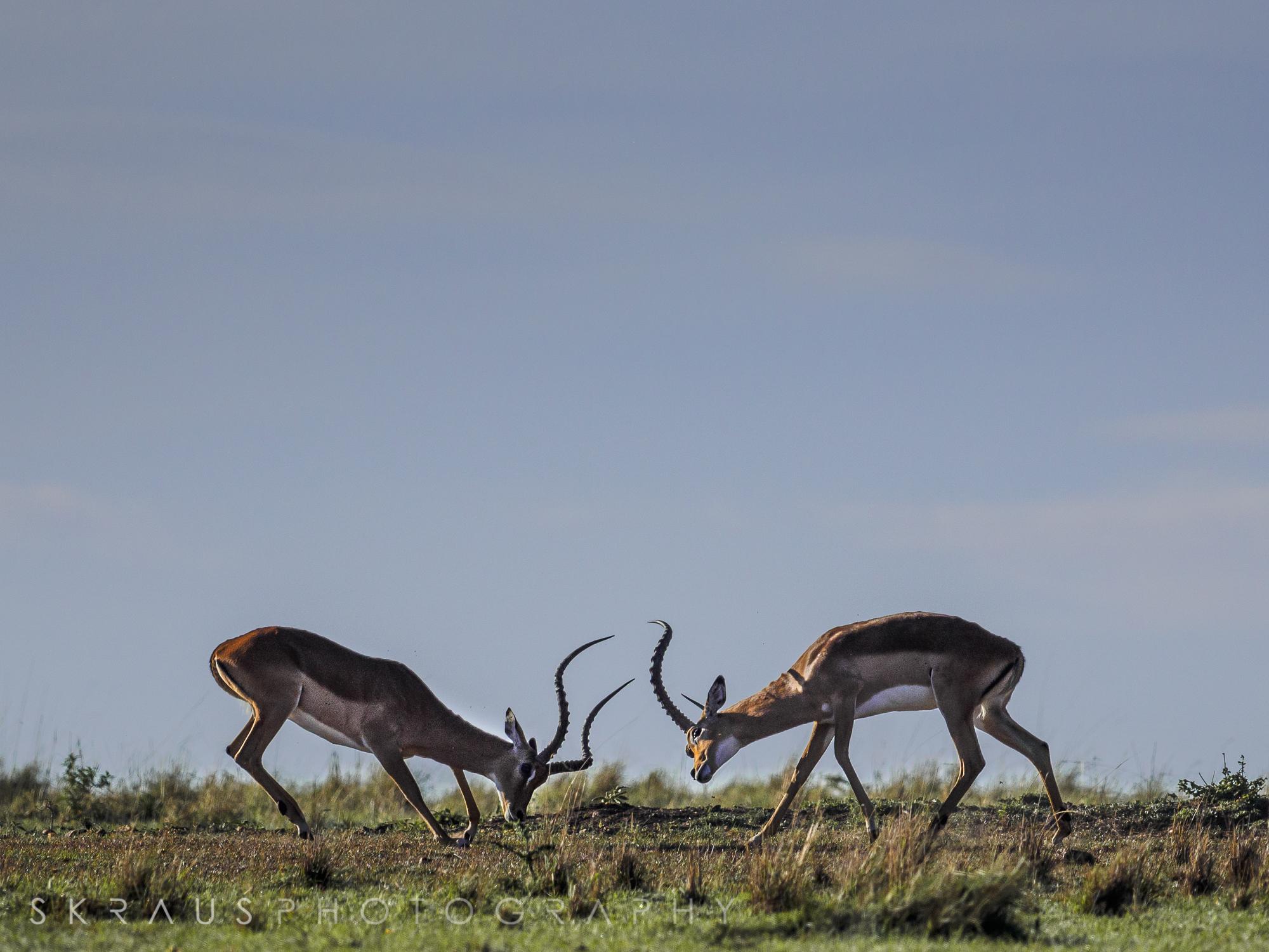 Impala Fighting.jpg
