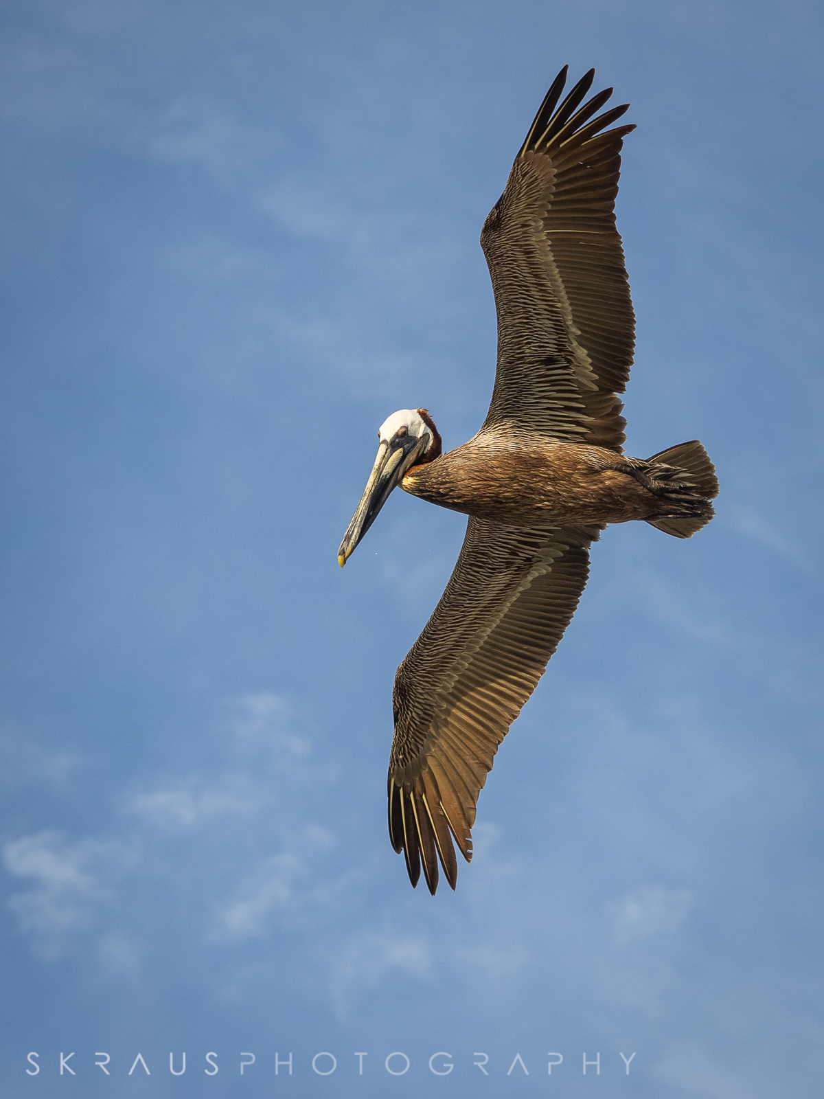Pelican-4.jpg