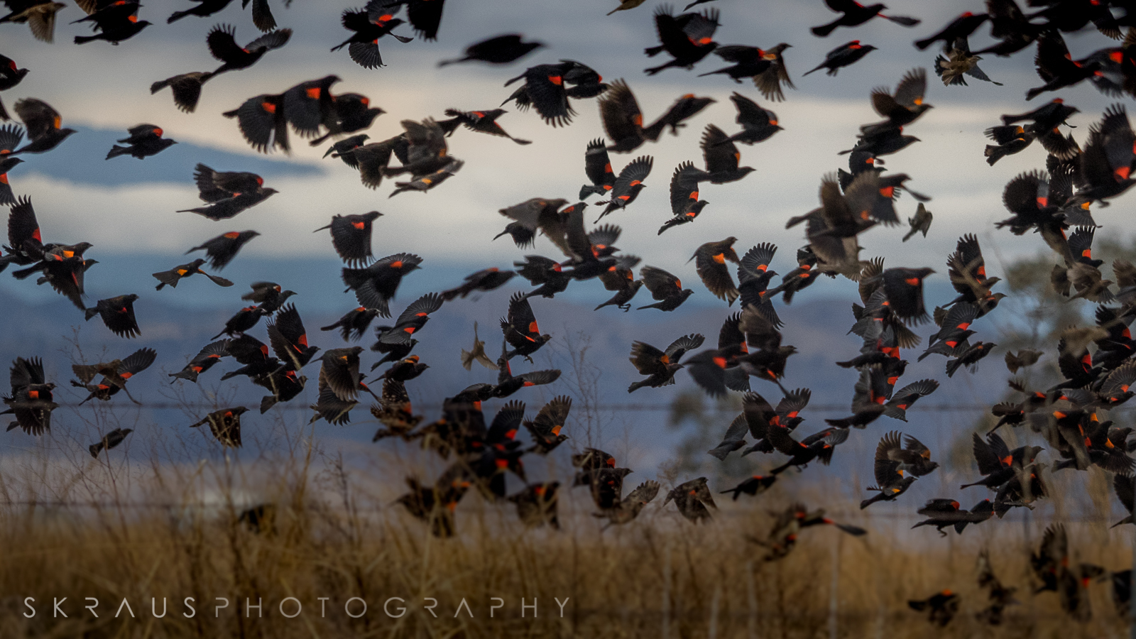Red-winged Blackbirds_3.jpg