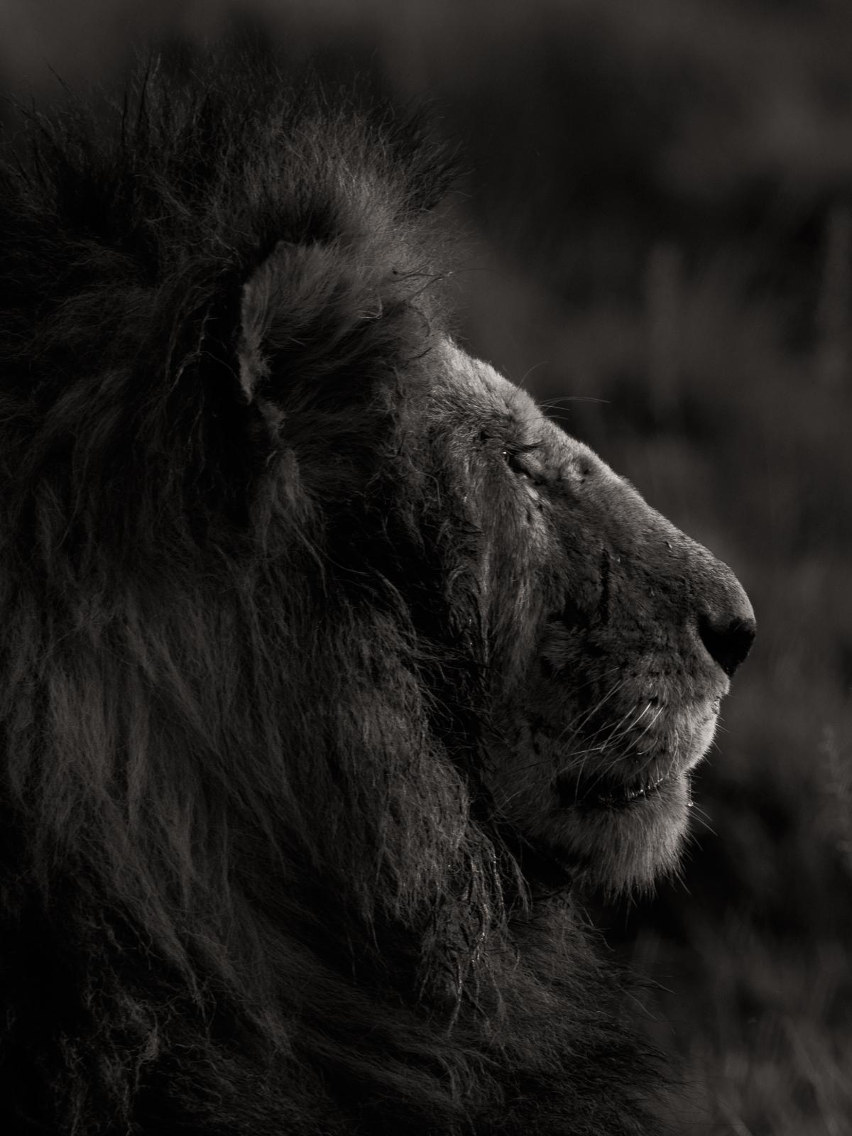Lion Portrait.jpg