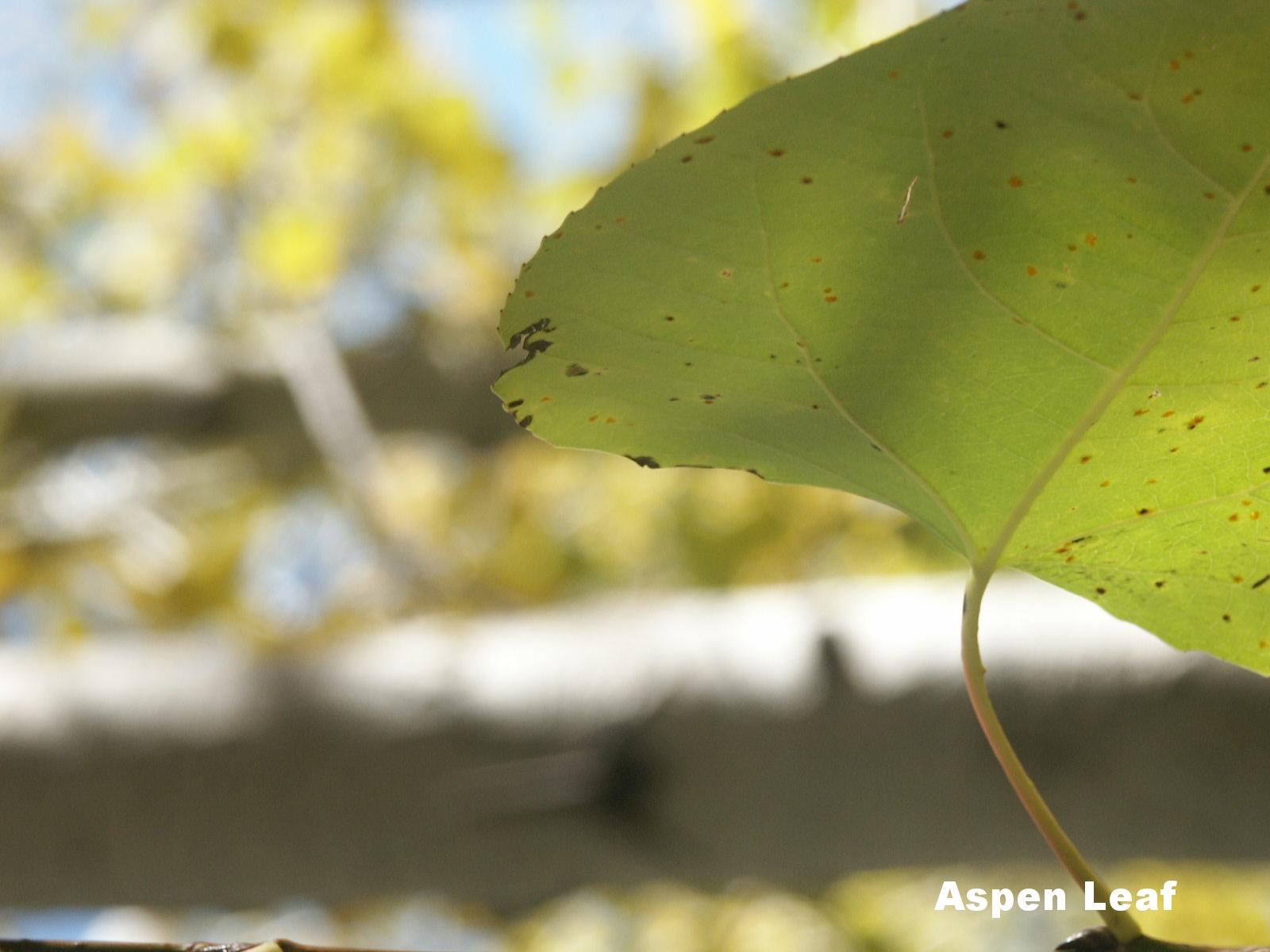 aspen leaves (2).JPG