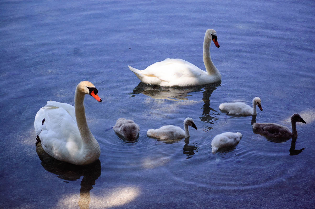 Because swans.