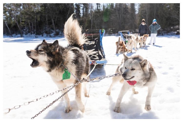 howling sled dog