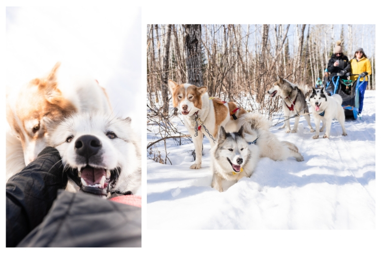 sled dogs scritches