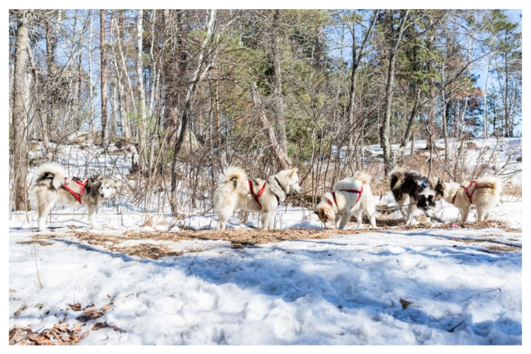 dogs taking a break from sledding