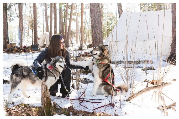 sled dog requesting pets