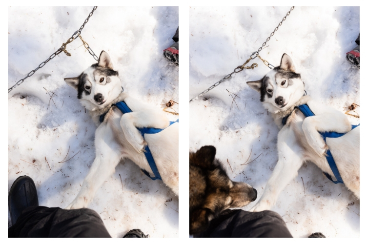 sled dog requesting belly rubs